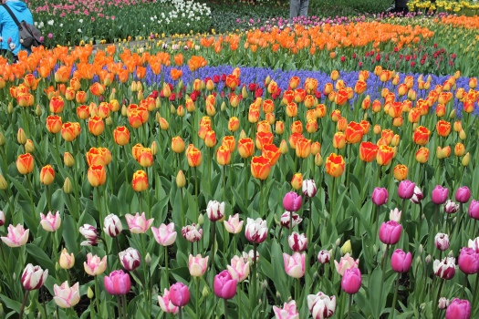 Colorful Gardens at the Skagit Valley Tulip Festival – TRAVELING ORION